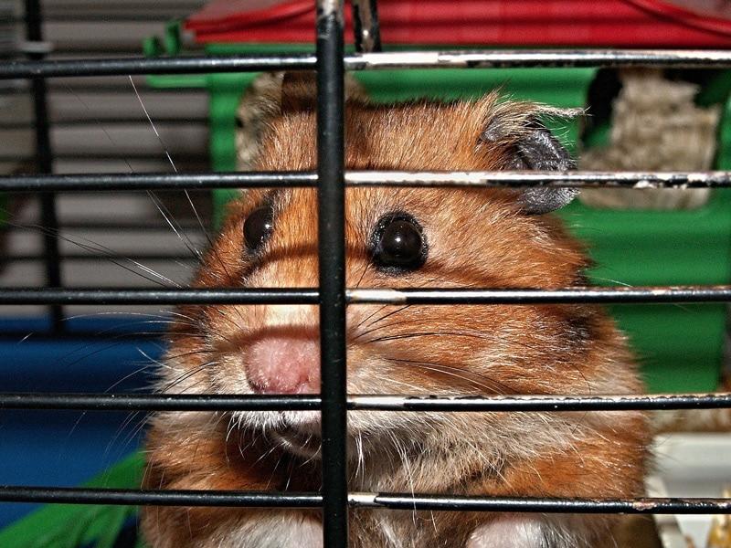 Hamster im Käfig