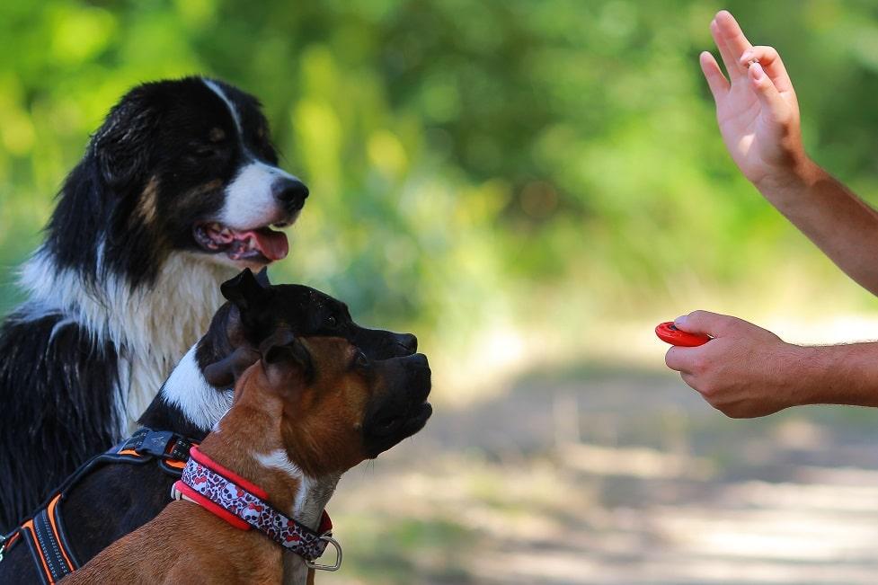 3 Hunde werden per Clicker trainiert