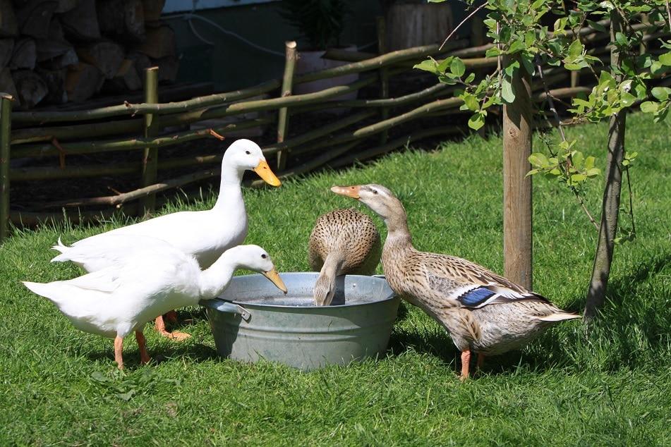 Laufenten im Garten