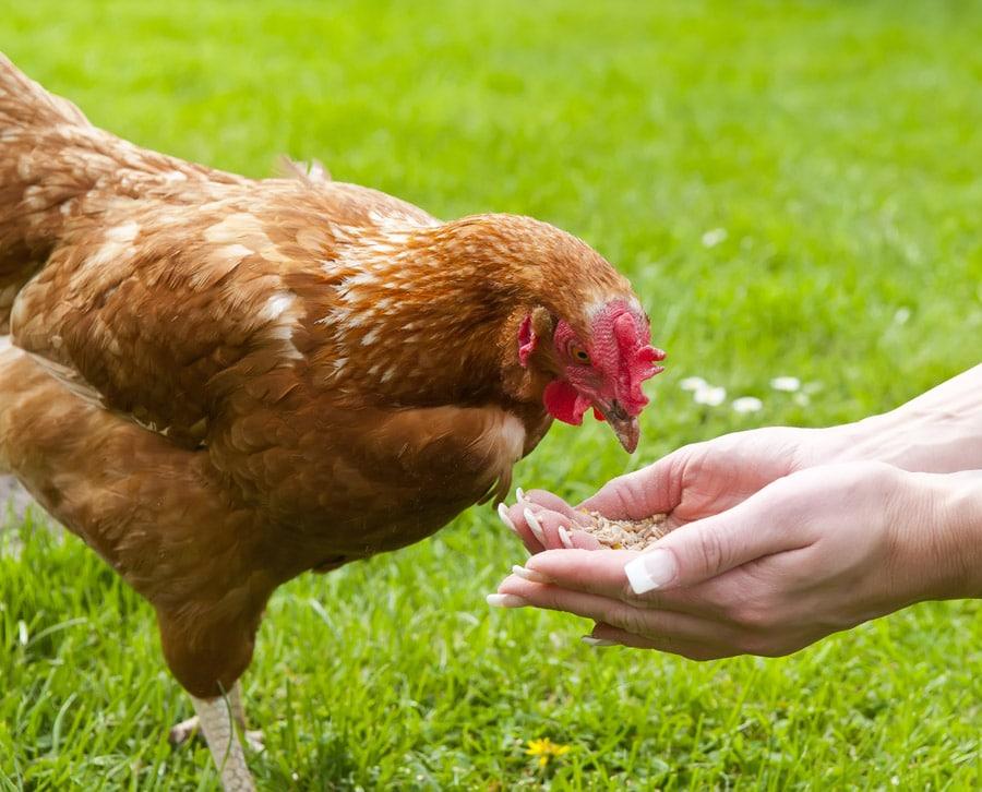 Huhn im Garten wird per Hand gefüttert