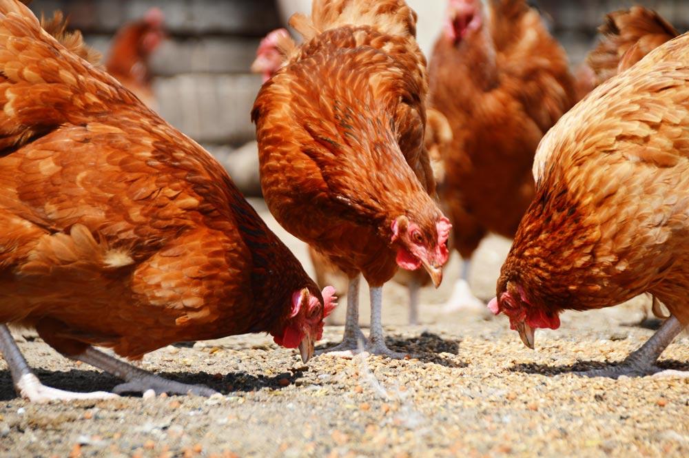 Drei Hühner die Ihr Futter aufpicken
