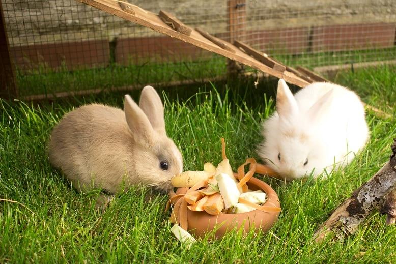 Zwei Zwergkaninchen fressen Gemüse in Ihrem Stall