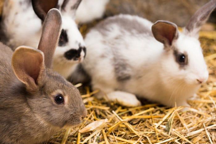 Kaninchen in seinem sauberen Stall