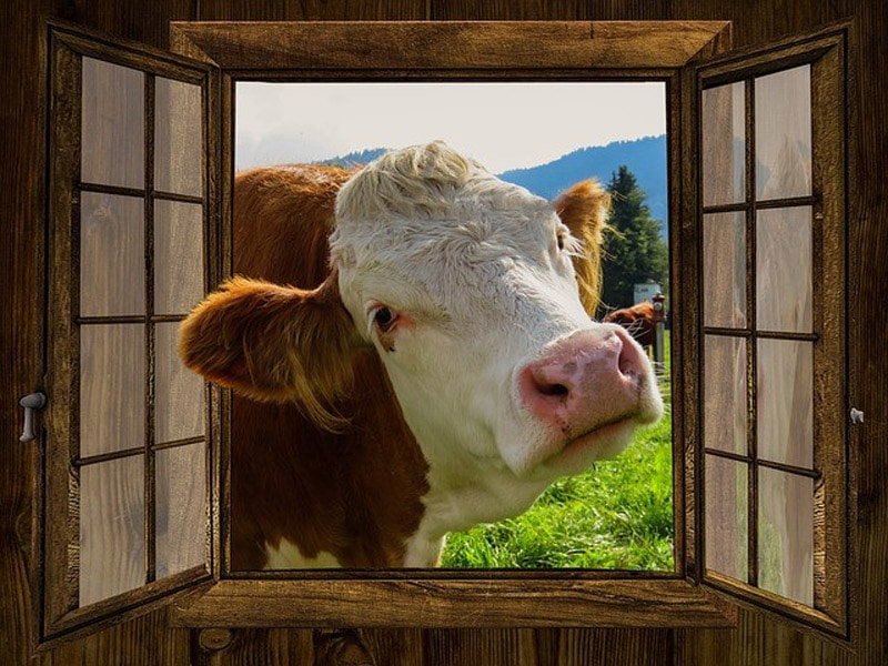 Kuh guckt durchs Stallfenster