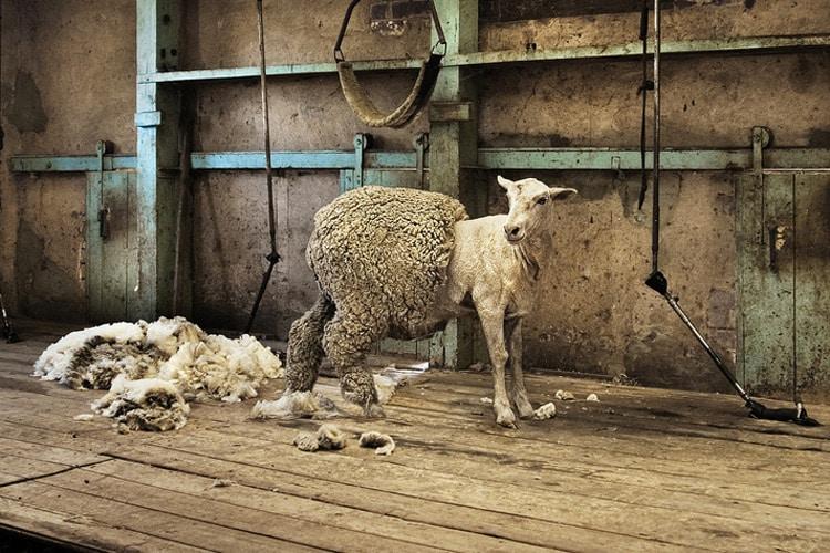 Schaf wird geschoren