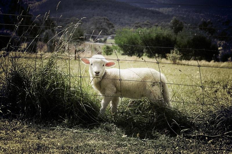 eingezäuntes Schaf auf der Weide
