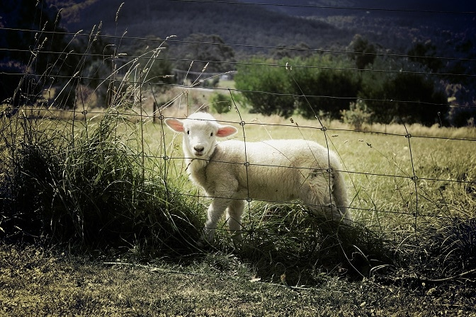 Ein Schaf steht hinter einem hütesicheren Schafzaun auf der Weide