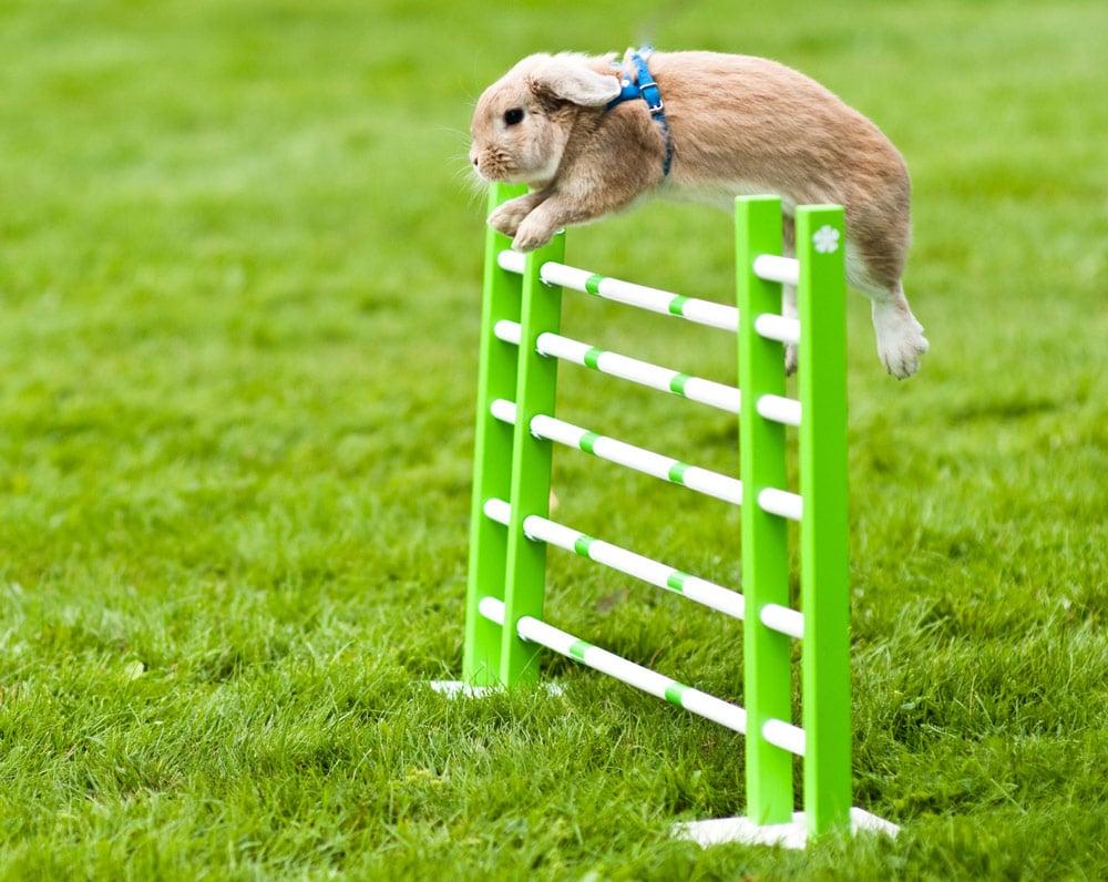 Kaninchen springt über ein Hindernis