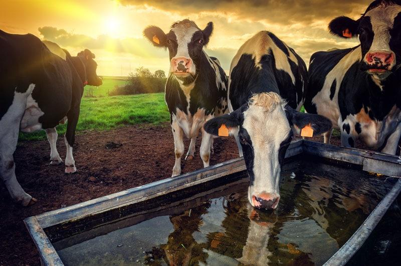 Kuh trinkt aus Tränke auf der Weide