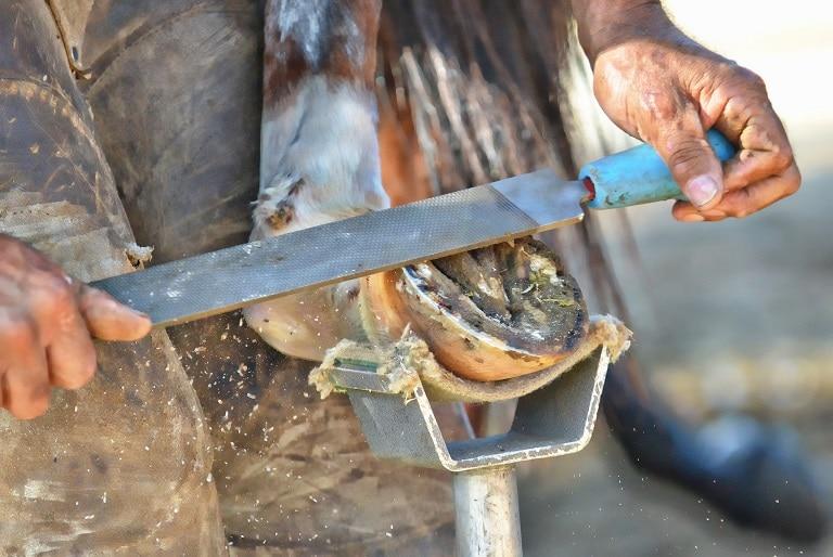 Hufbearbeitung durch einen Hufschmied mit einer Hufraspel