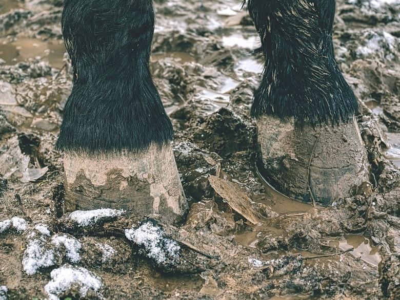 Pferdhufe auf einem matschigen und nassen Paddock