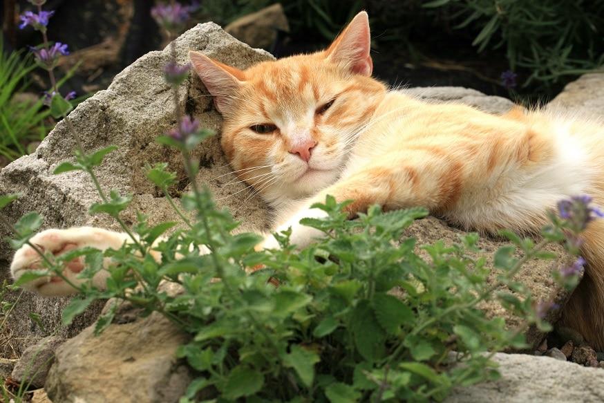 Duftstoff Lavendel und Katze