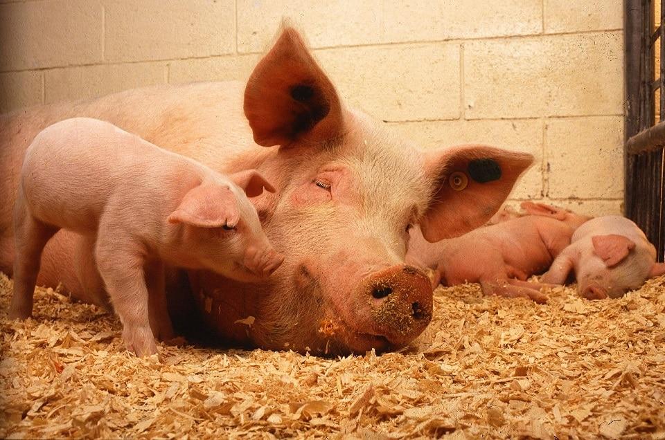 Schwein und Ferkel im Stall