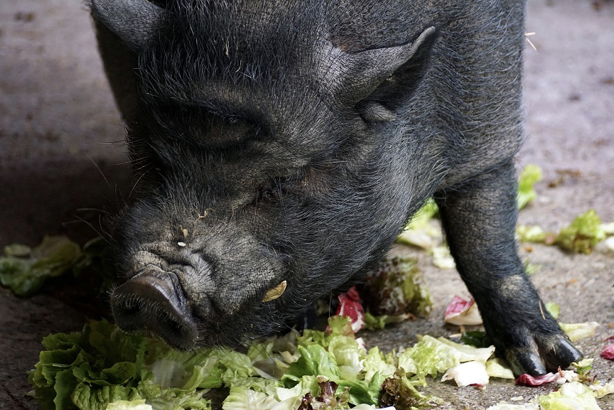 Hängebauchschwein frisst Salat