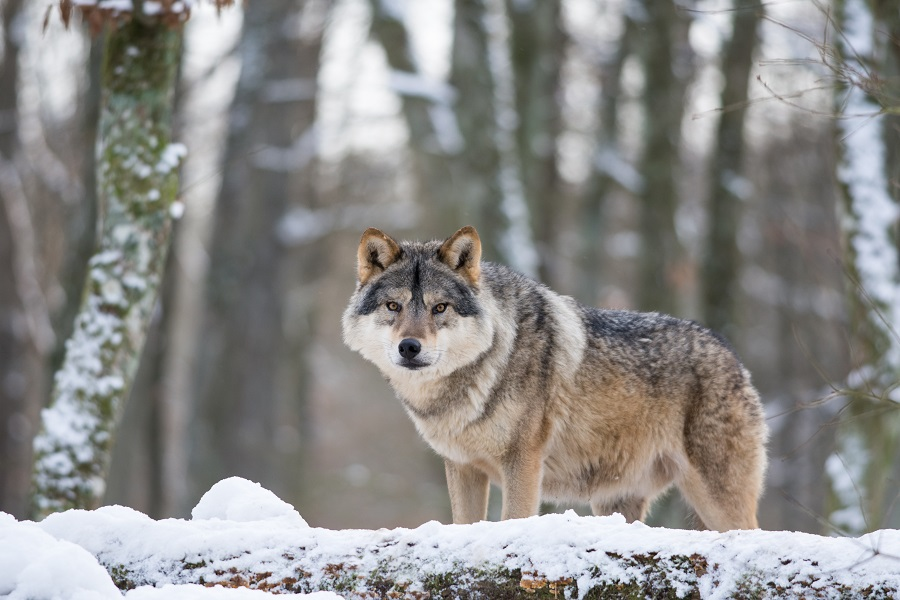 Wolf beobachtet seine Umgebung