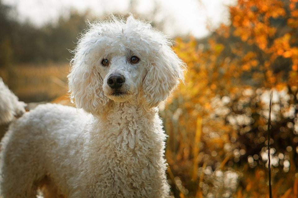Der Pudel gehört zu den Top 5 Hunde für Allergiker