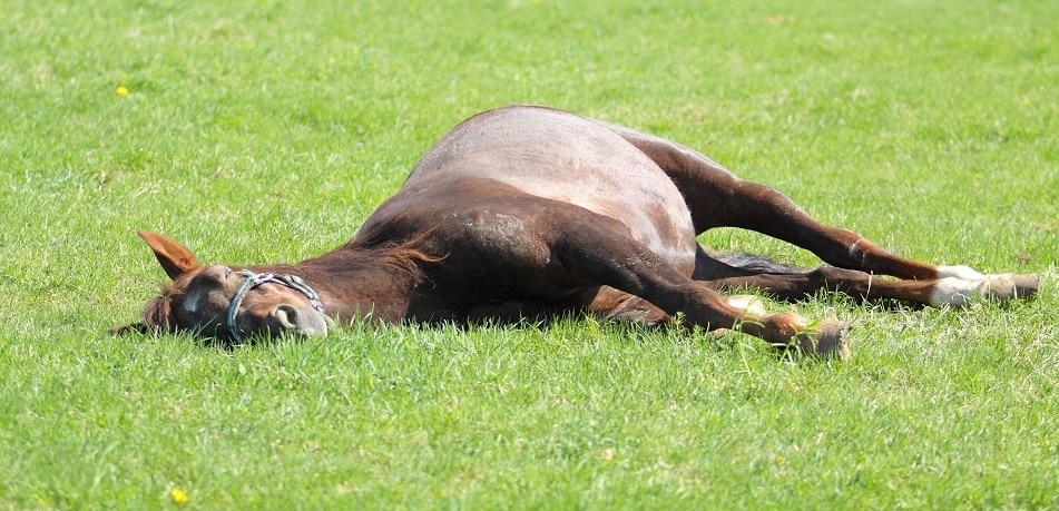Pferd schläft auf der Wiese