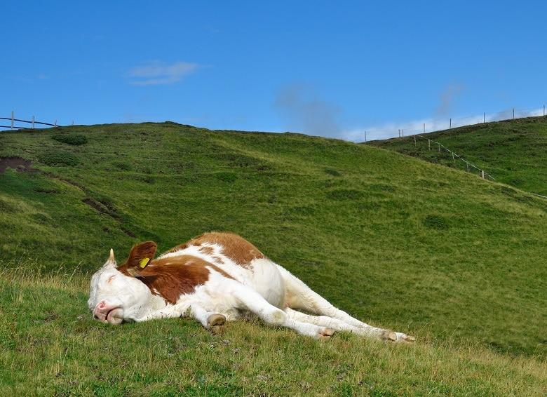 Kuh schläft auf der Wiese